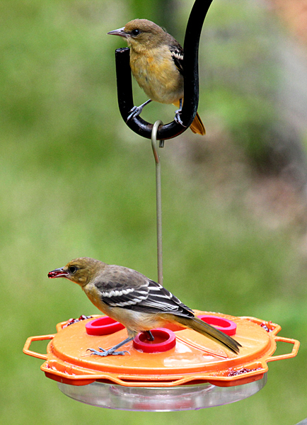 Juvenile Baltimore Orioles at grape jelly feeder