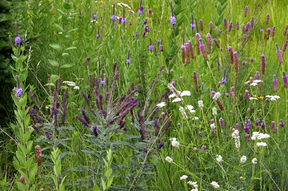 leadplant among prairie plants