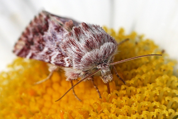 This is a very hairy moth, with its head mostly tucked under its thorax.  It seemed quite intent on sucking up every drop of nectar it could find in the daisy.
