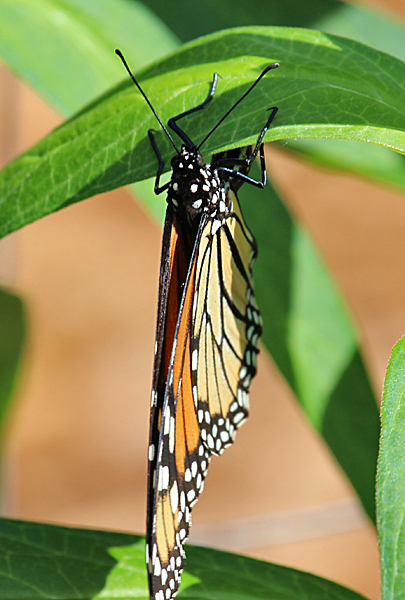 Typically, Monarch females attach a single egg to the underside of a milkweed leaf, and then move on to another part of the plant or another plant entirely.