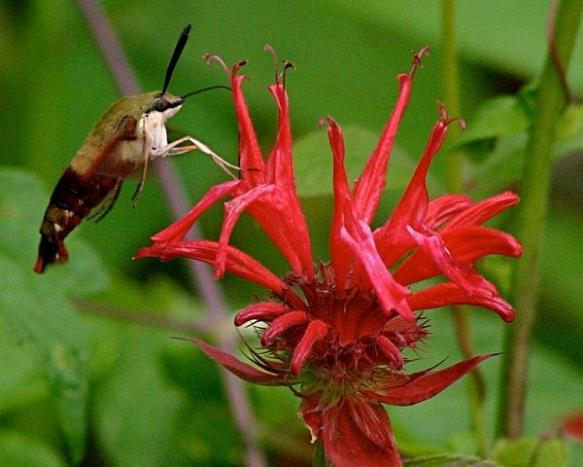 Clearwing Hummingbird Moth sipping nectar from Scarlet Beebalm (http://www.wqed.org/birdblog/2012/07/07/a-bad-hair-day/)