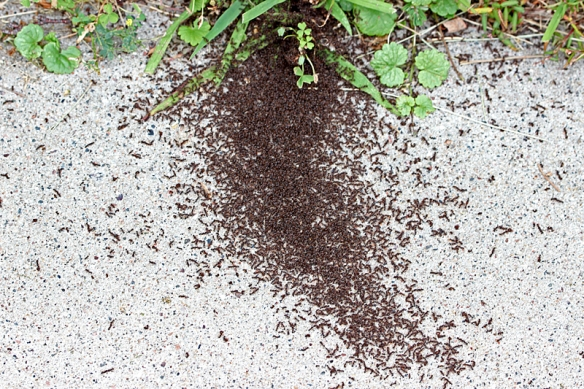 pavement ant war