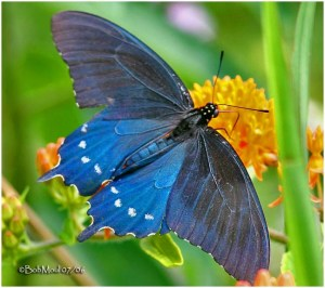 PipevineSwallowtail-female-Bob Moul