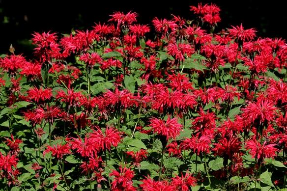 A clump of Scarlet Beebalm, Monarda didyma