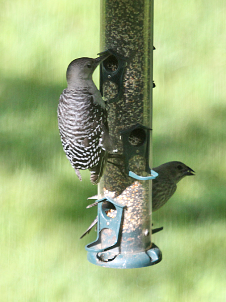 Red-bellied Woodpecker juvenile and House Finch