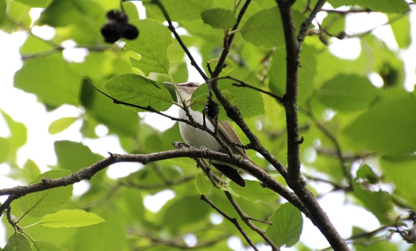 Usually not even this obvious, Red-eyed Vireos hide in plain sight by sitting above a dense patch of vegetation and singing loudly and continuously.