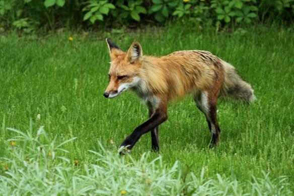 Red Fox, Vulpes vulpes, hunting