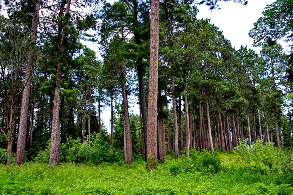 Red Pine forest at Lake Itasca State Park, MN
