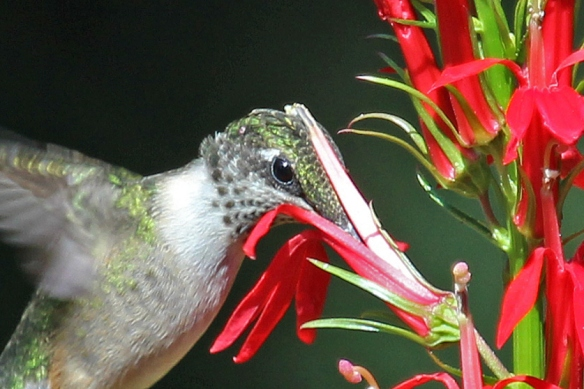 Ruby-throated Hummingbird sips nectar from Cardinal Flower picking up pollen on its head