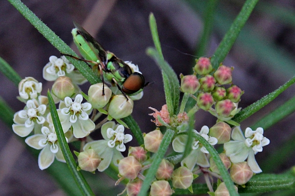 Soldier Fly, Odontomyia cincta, on whorled milkweed