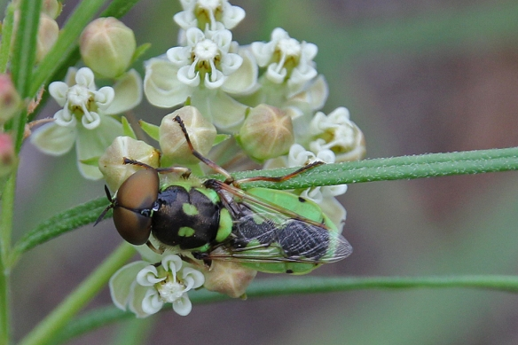 Soldier Fly, Odontomyia cincta, on whorled milkweed flower