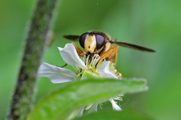 Syrphid flies eat a lot of pollen, but they also do a good job of transferring it from one flower to the next as their head and tongue comes into contact with the anthers.