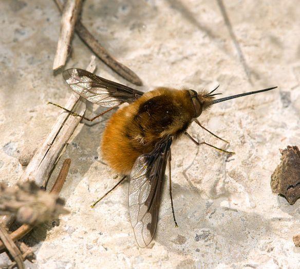 European bee fly, Bombylius major