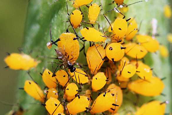 aphis-nerii-cornicle-and-braconid-wasp