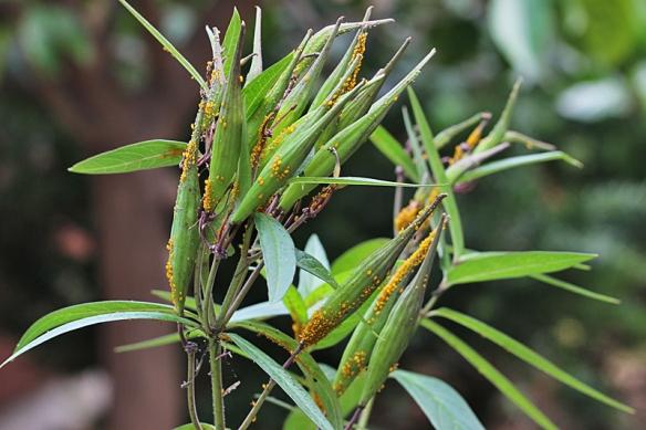 Aphis nerii on swamp milkweed pods