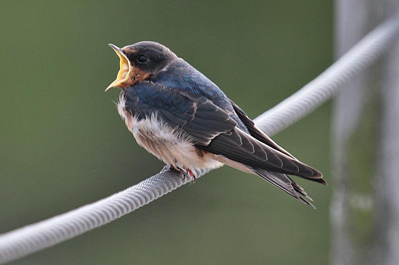 Barn Swallow hang-out | Back Yard Biology