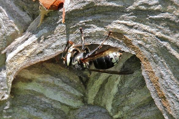 bald-faced hornet adding to nest