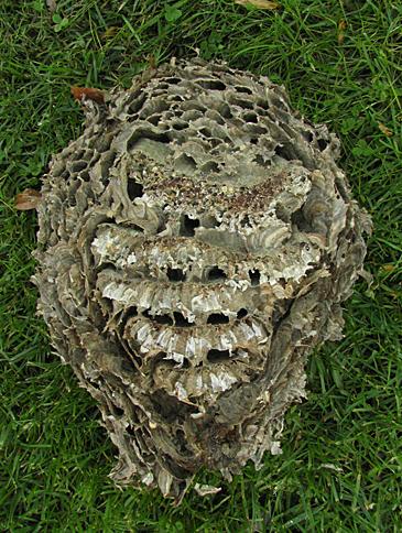 bald-faced hornet nest interior
