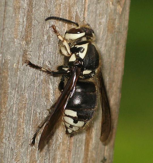 bald-faced hornet queen collecting wood fiber