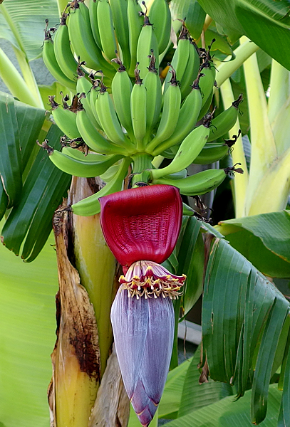 banana fingers and male flowers