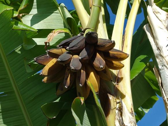 banana fingers-very ripe