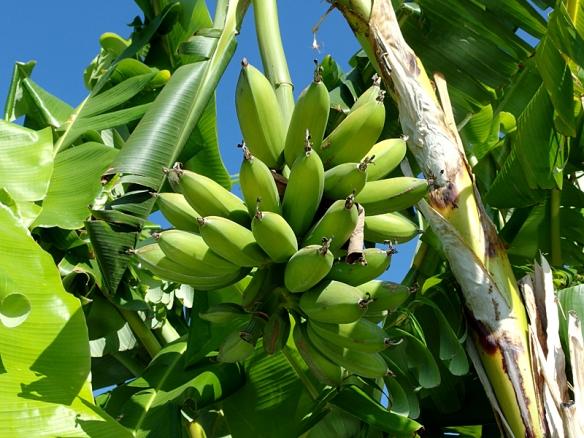 banana fingers