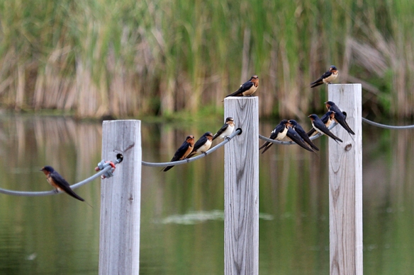 barn swallow adults flock up before fall migration