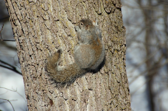gray squirrel with red highlights basking on a tree trunk