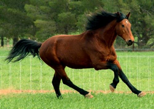 bay horse-wikipedia