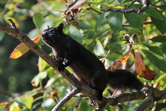 black-colored gray squirrel