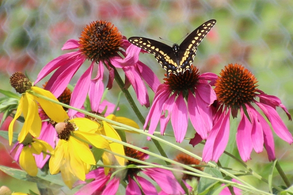 male black swallowtail butterfly on coneflowers
