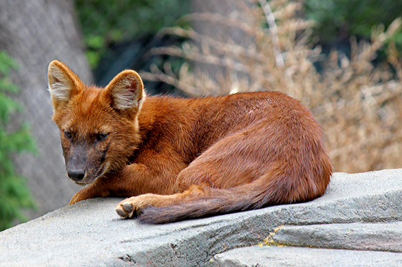 Dhole-asian-wild-dog at the MN Zoo