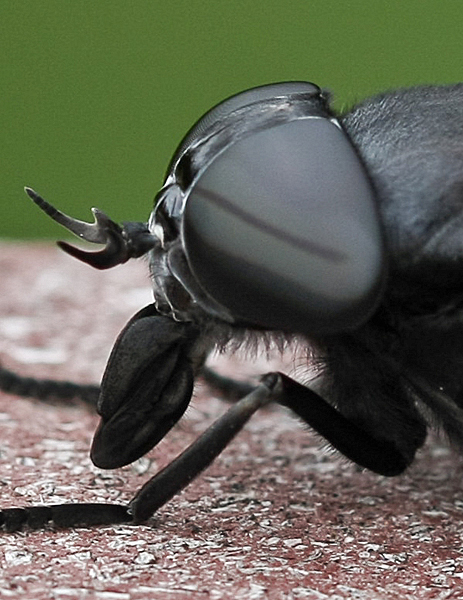 female black horse fly mouth parts