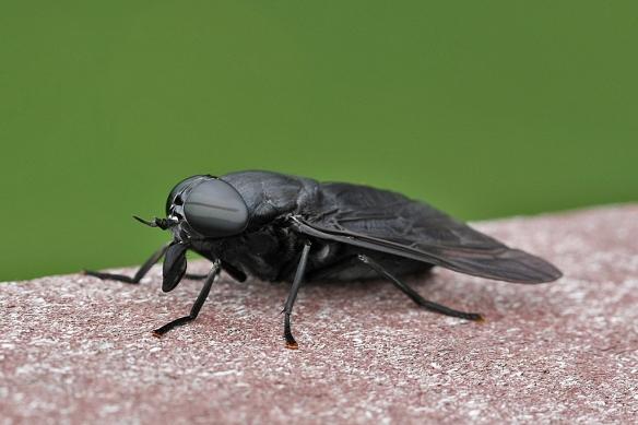 female black horse fly