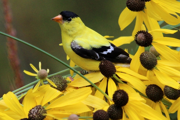 goldfinch-on-gray-headed-coneflower