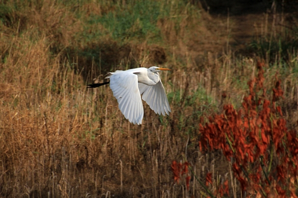 great egret flying over the marsh