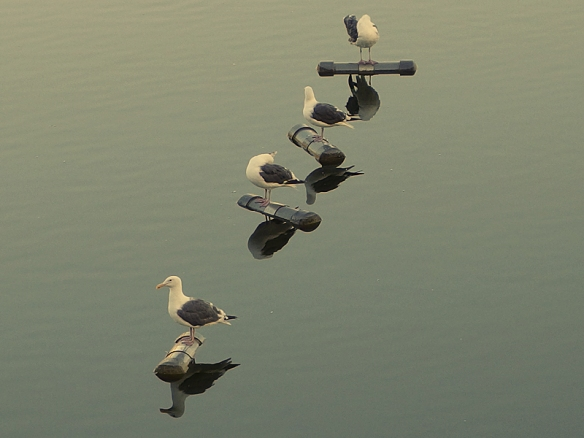 gulls on silverlake reservoir, Los Angeles CA