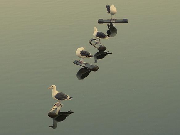 gulls on silverlake reservoir, Los Angeles CA