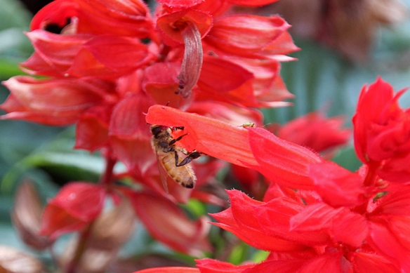honeybee on salvia