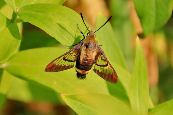 hummingbird clearwing moth at rest
