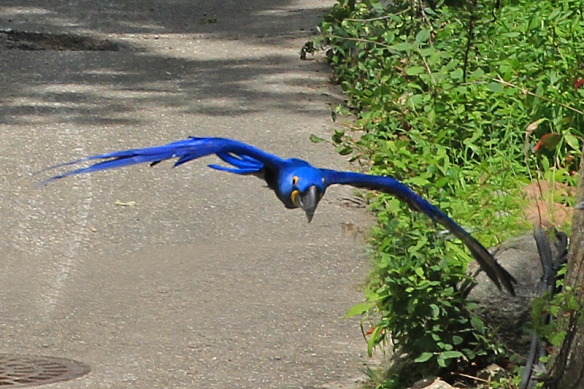 hyacinth macaw at the bird show at the MN Zoo