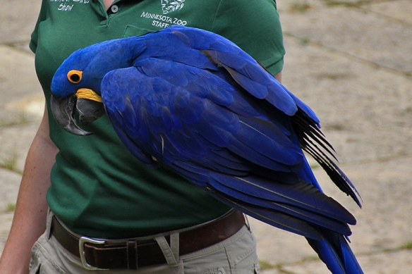 hyacinth macaw at MN Zoo