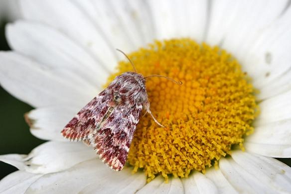 leadplant flower moth, Schinia lucens (1)