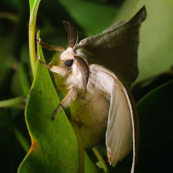 male silkworm moth - Ash Bowie-Wikimedia Commons