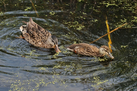mallard hen and duckling