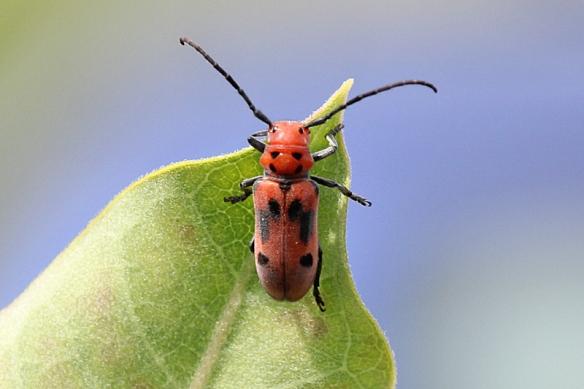 milkweed beetle-Tetraopes sp