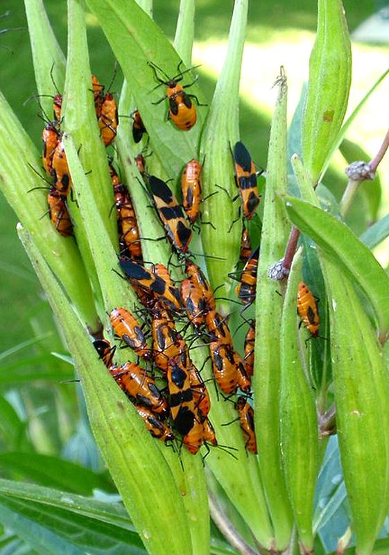 milkweed bug adults and nymphs