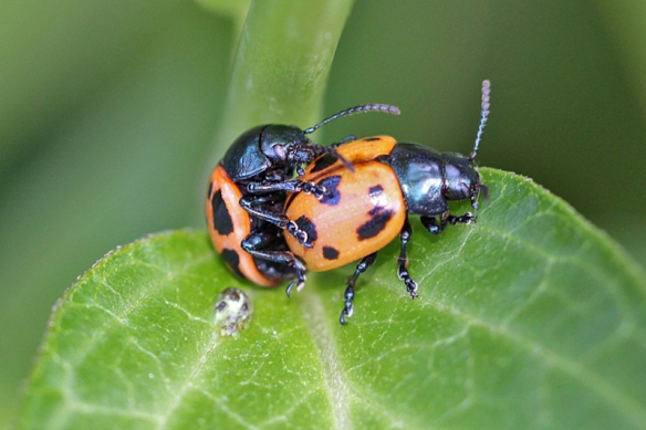 milkweed-leaf-beetles-mating