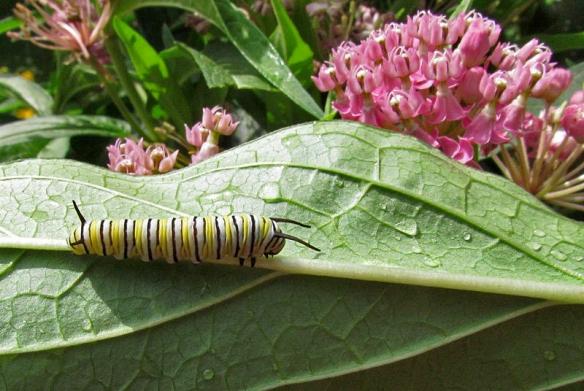 milkweed-monarch butterfly larva