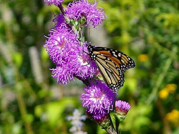 monarch on rough blazing star